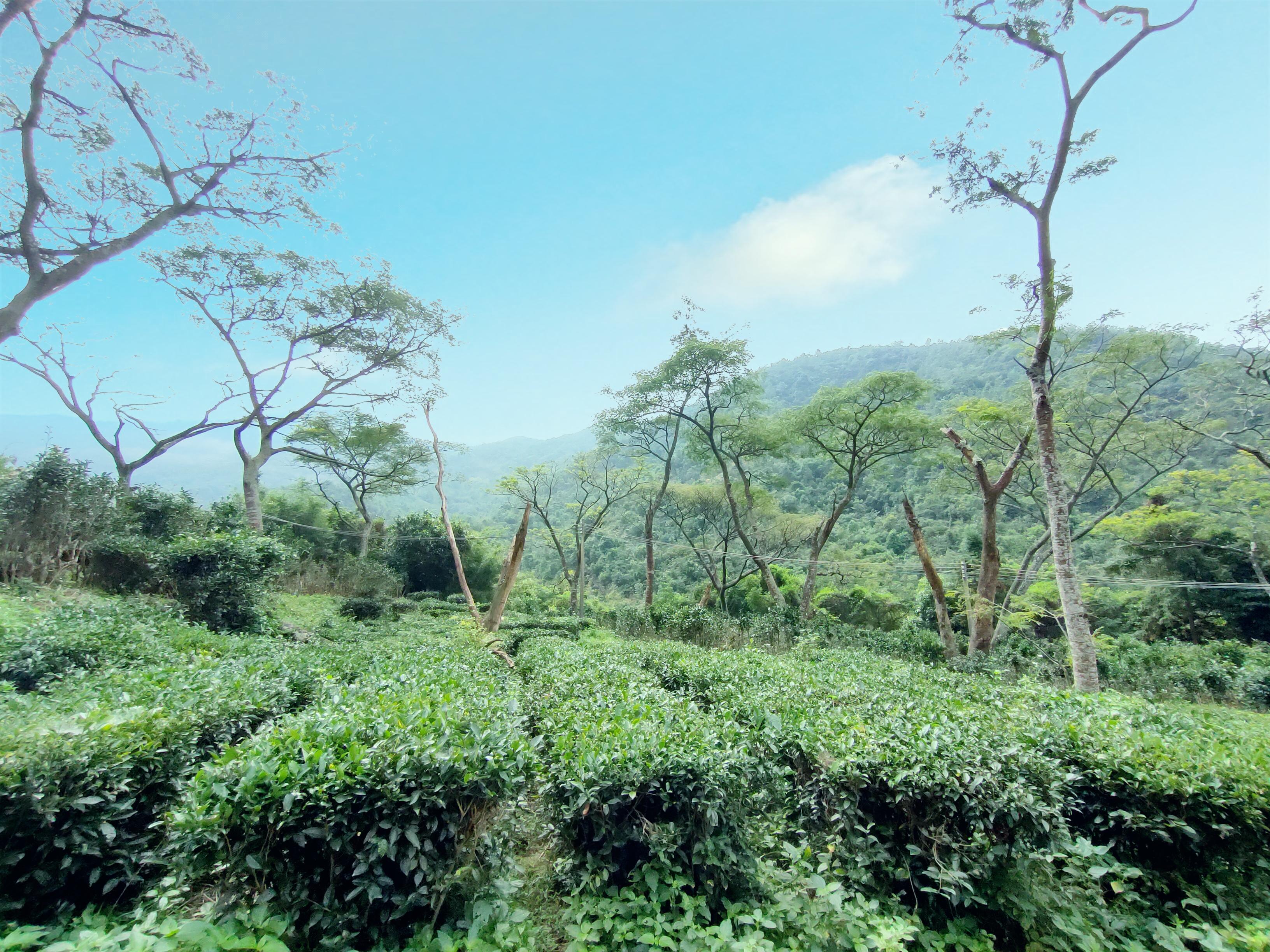 白云茶种植基地
